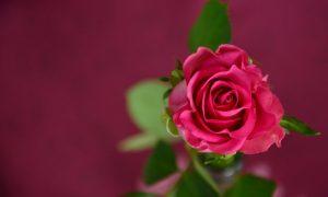 Valentine rose lo