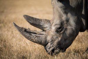 rhino lo